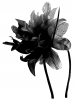 Aurora Collection Flower Aliceband Fascinator in Black