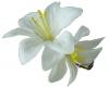 Micro Flower Clip in White